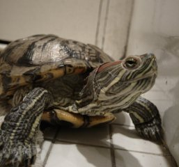 Miss Turtle - Day 7