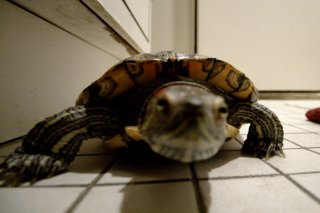 Miss Turtle - Day 8